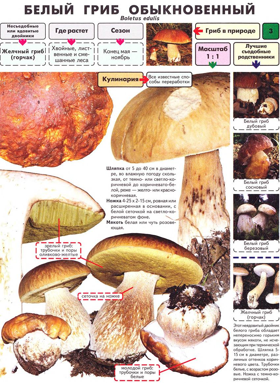 грибы энциклопедия грибов фотографии и описание