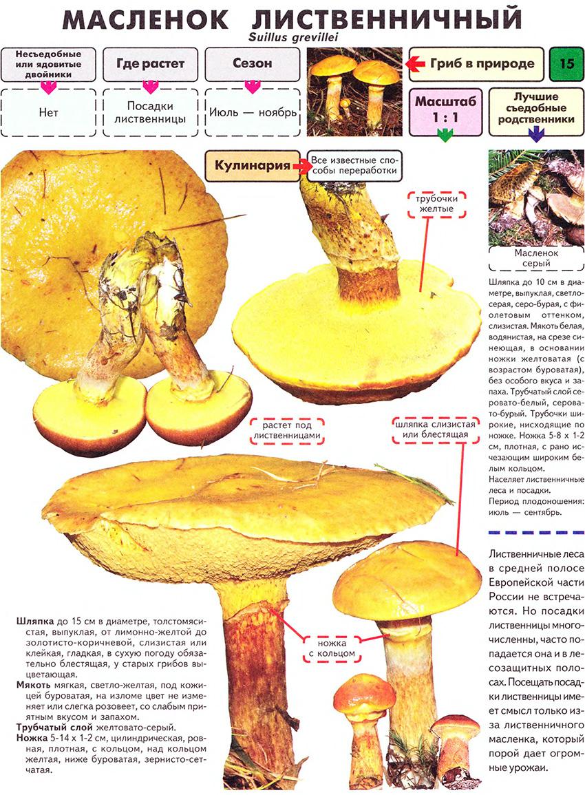 Главная грибник все о грибах