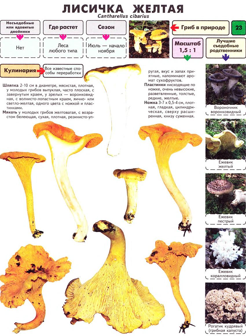 как выглядят грибы лисички фото и описание