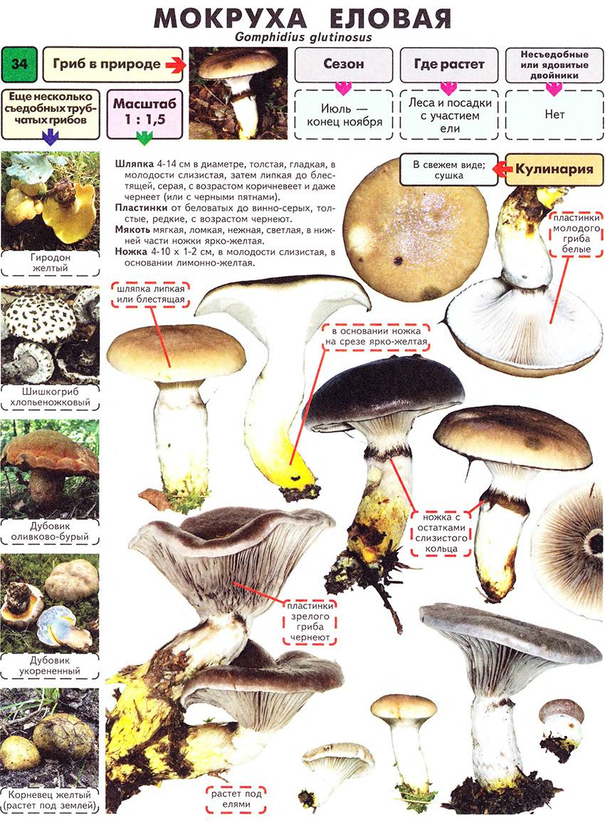 счастливчика энциклопедия съедобных грибов фото и название и описание могут