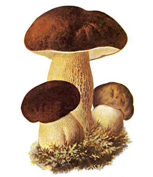 Белый гриб сколько