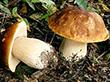 Но встречается и в лиственных или смешанных лесах.  Вкусный съедобный гриб.