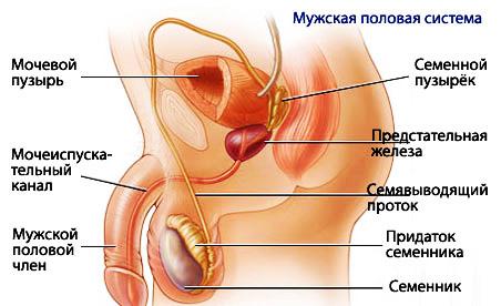 Система пениса