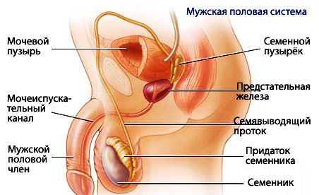 Мужские гениталии видео на русском и фото фото 24-856